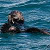 _DS35025-Sea-Otter