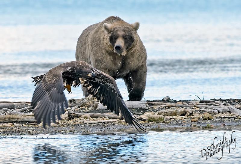 _DLS4326-juvi_grizzly