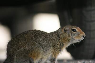 This Alaskan ground squirrel was chewing on something under a car at Denali National Park