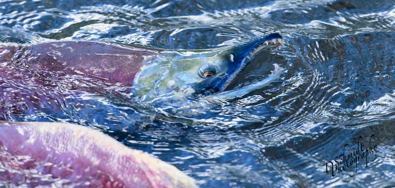 _DLS3040-Salmon