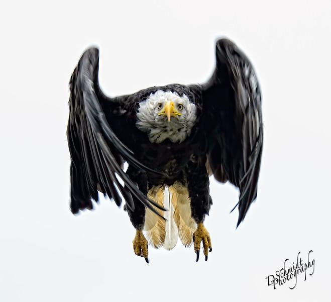 _DLS3496-Homer_eagle