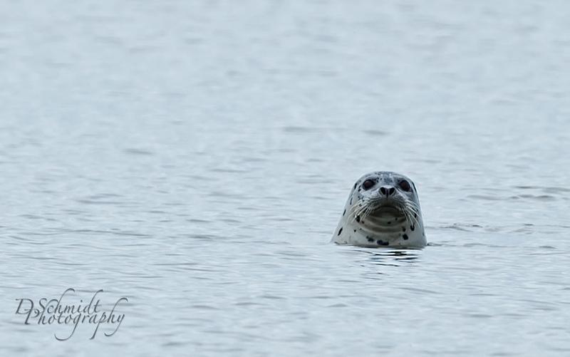 _DLS4750-Harbor_Seal