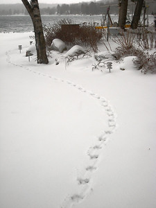 Rabbit Tracks?