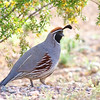 Gambel's Quail @ Sun City West, AZ - March 2017