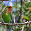 Rosy-faced Lovebird @ Encanto Park, AZ - March 2017