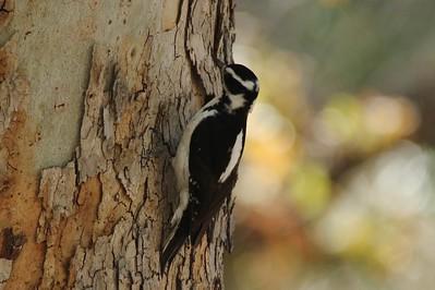 Hairy Woodpecker @ Cave Creek Canyon