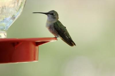 Black-chinned Hummingbird @ George Walker House in Paradise