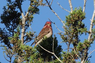 Cassin's Finch (Male) @ George Walker House yard in Paradise