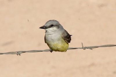 Western Kingbird beside Portal Road