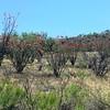 Ocotillo (Fouquieria splendens) @ Patagonia Lake State Park