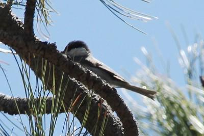 Mexican Chickadee @ Rustler Park
