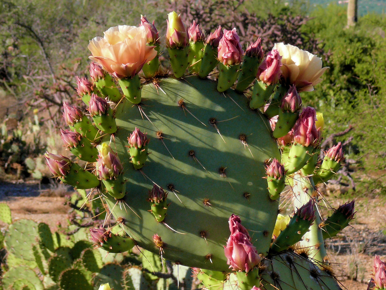 Circle-of-Cactus Blossums