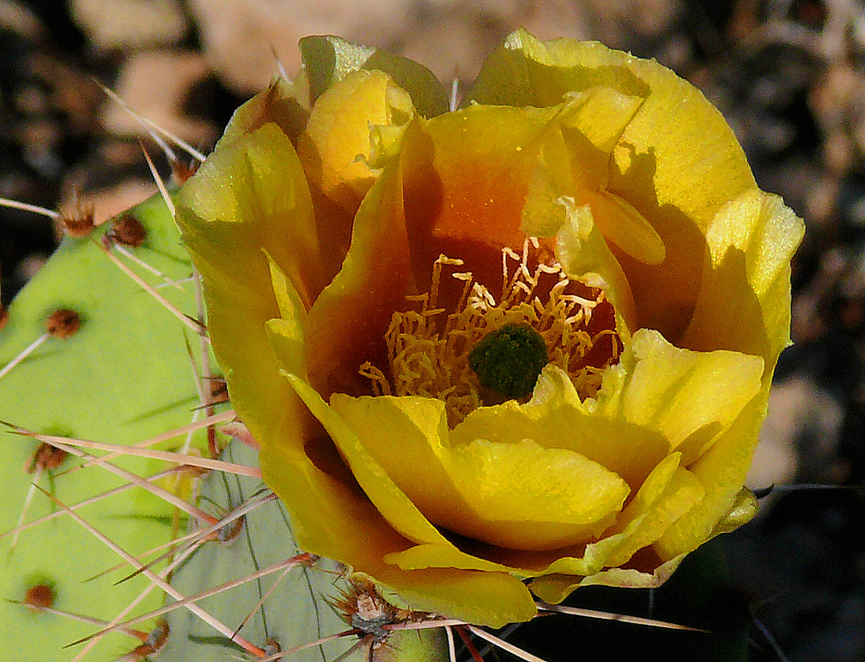 Yellow Orange Cactus Bloom