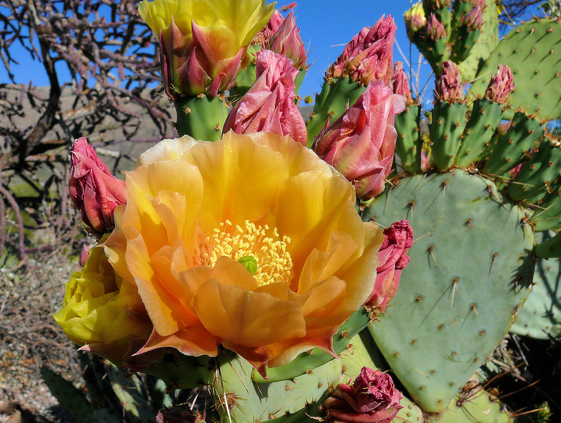 Multi-Colored Cactus Blooms