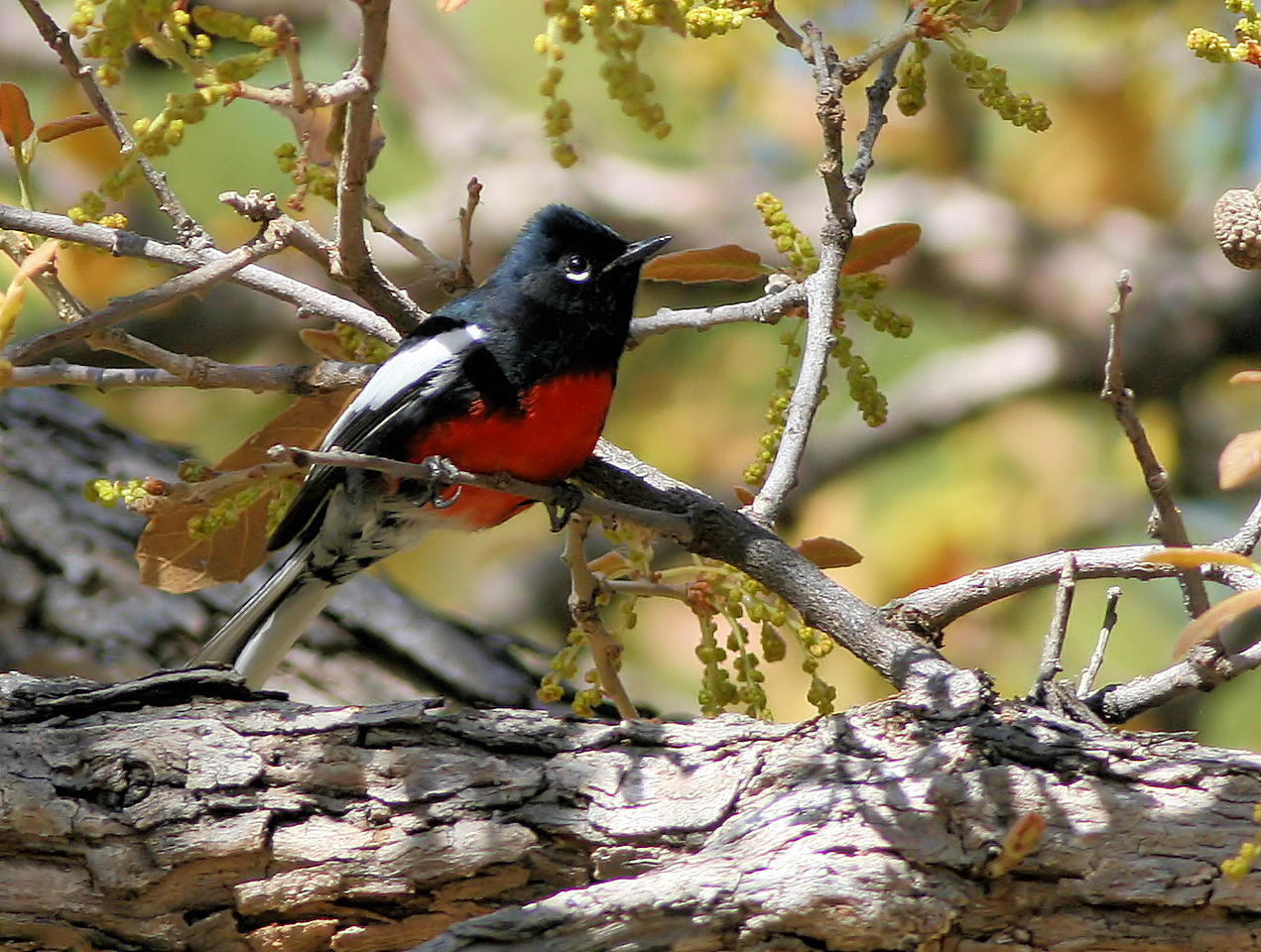 Painted Redstart 1