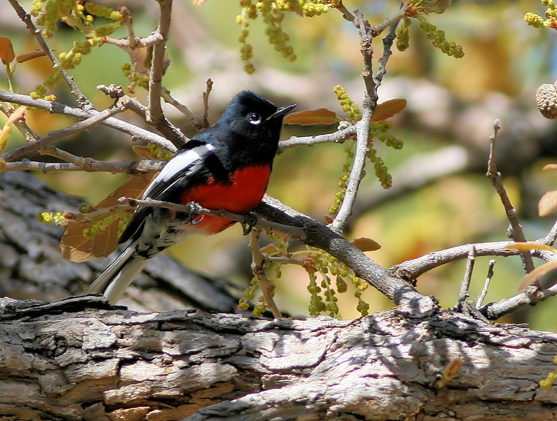 Painted Redstart 1