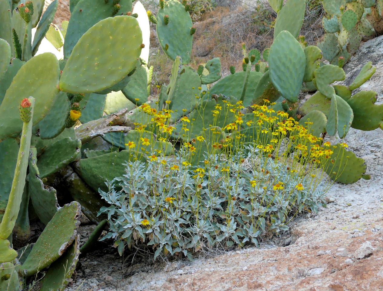 Yellow Flowers Desert Cactus
