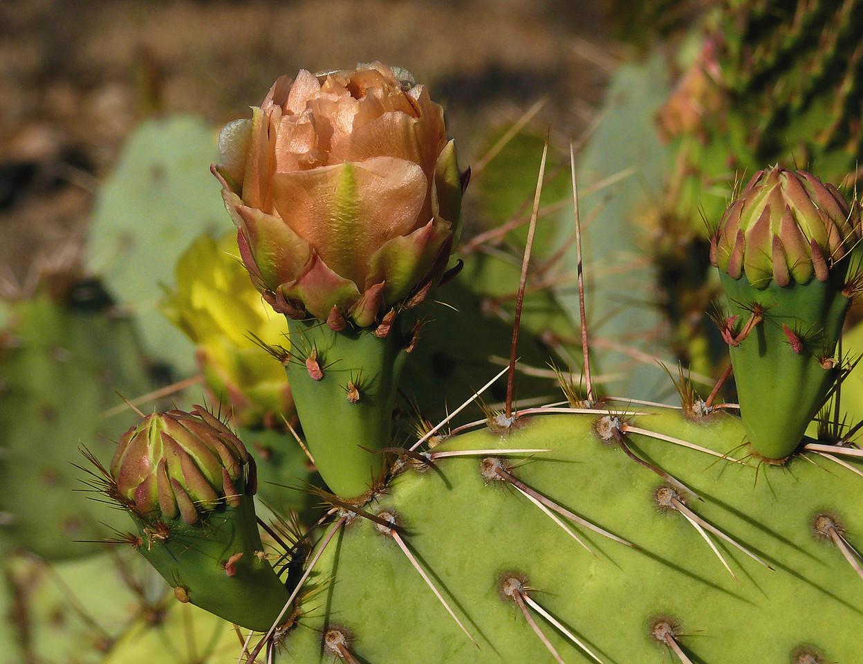 Flesh Colored Cactus Blooms