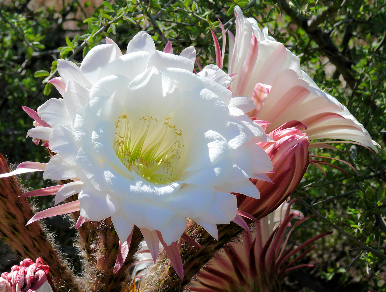 Yep - Another Big White Cactus Flower