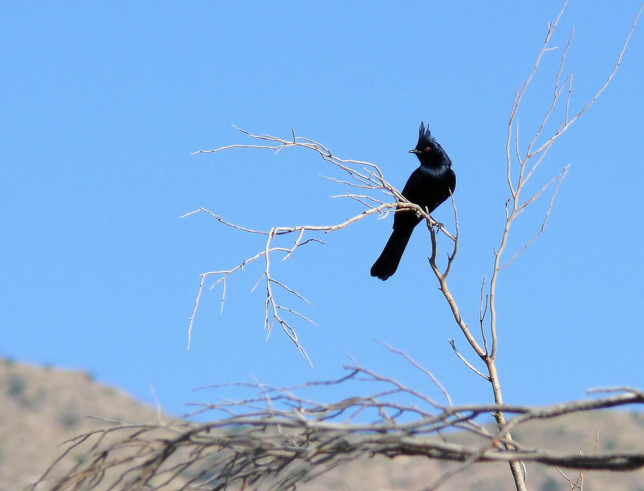 Phainopepla Flycatcher