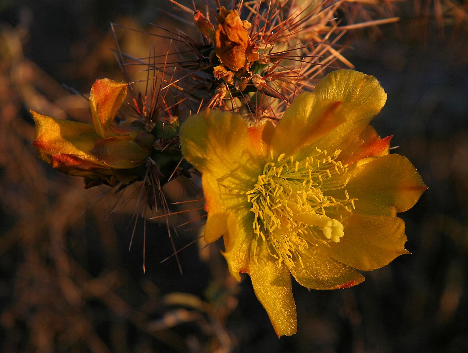 Sunset Cactus Blossum