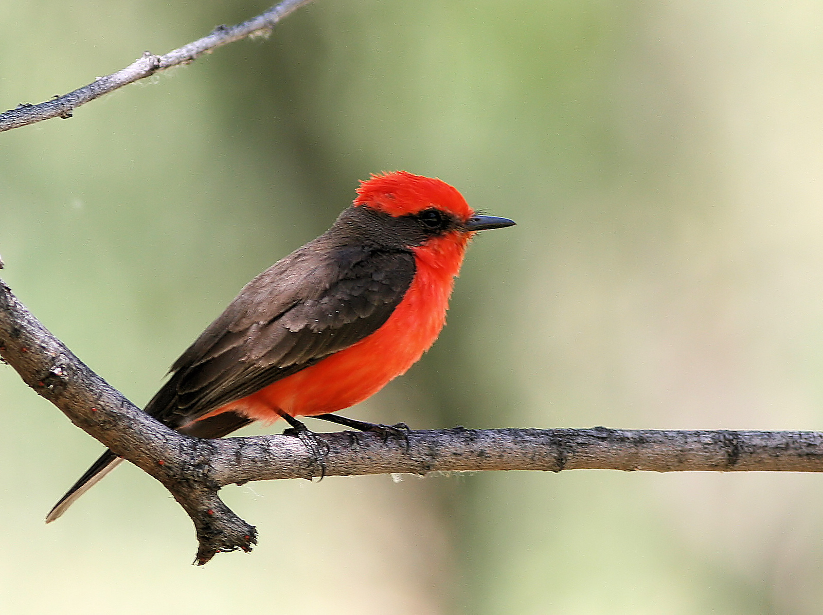 Vermillion Flycatcher 1