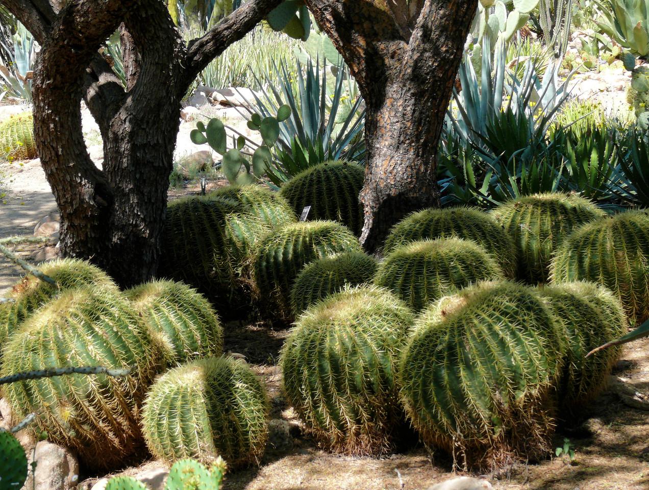 Pumpkin Ball Cactus