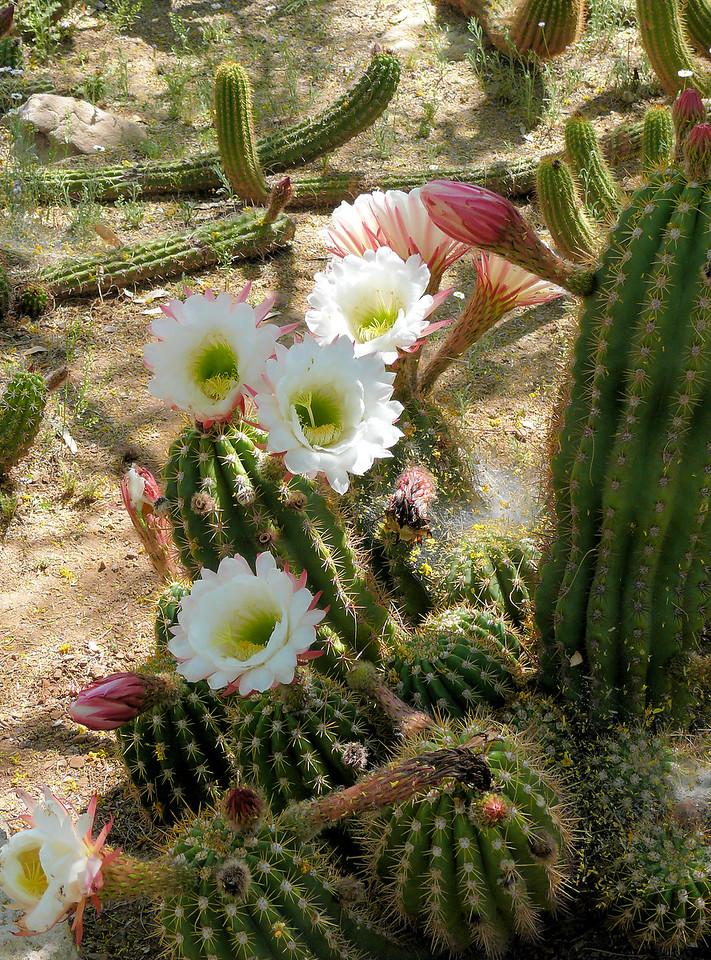 Smaller White Cactus Flowers