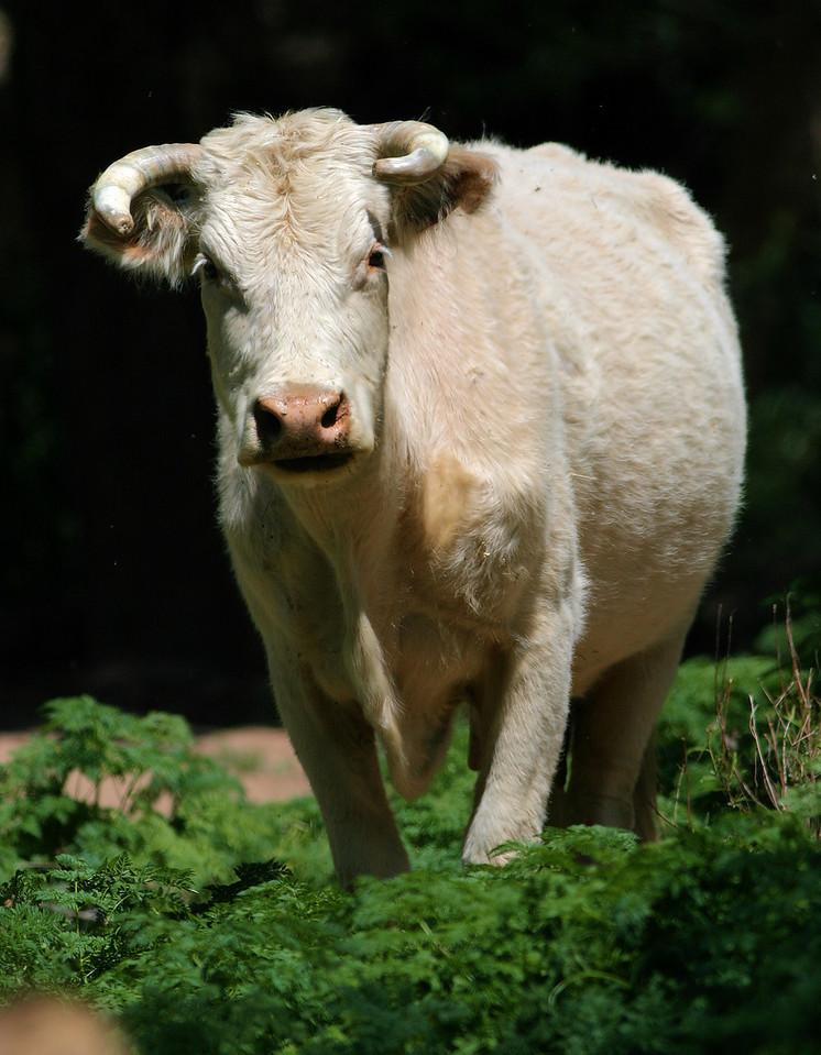 Bovine Menace
