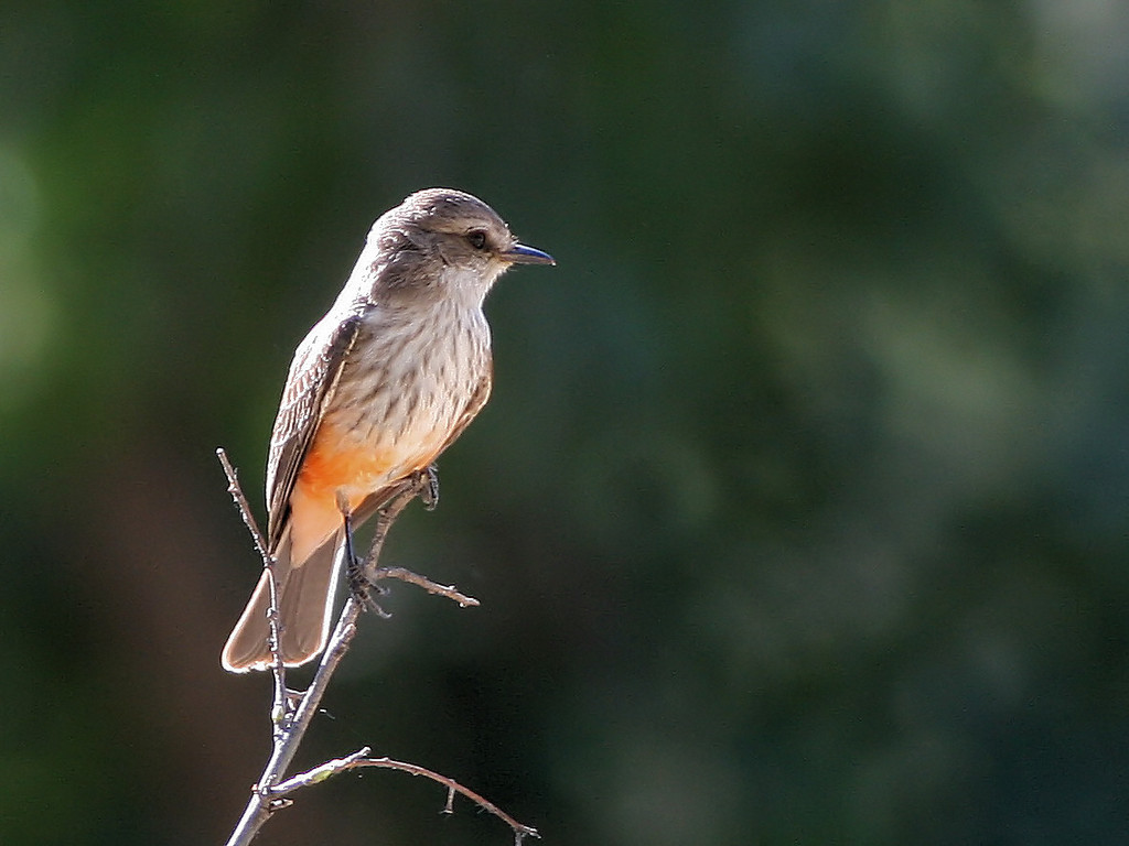 Female Vermillion Flycatcher