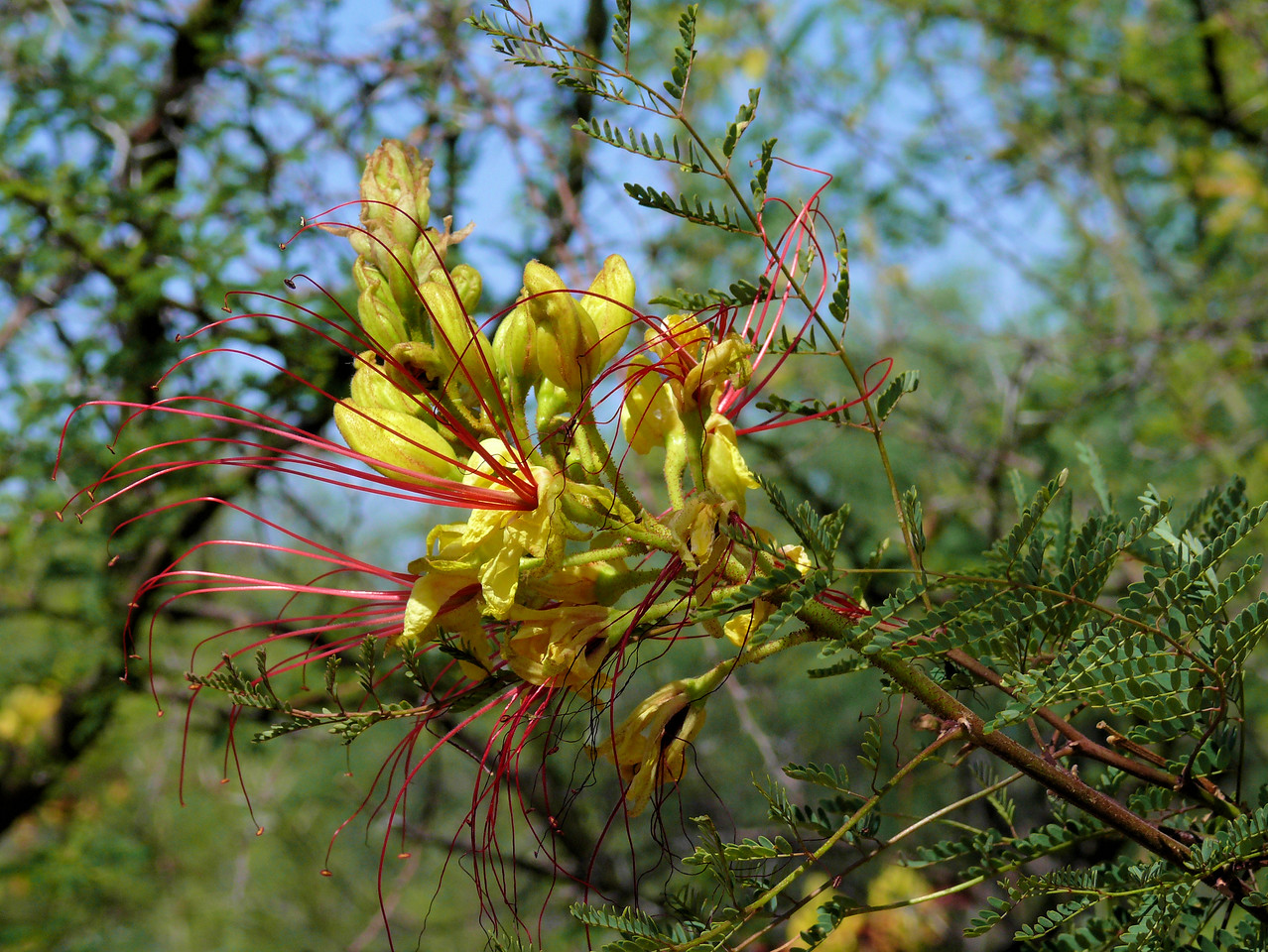 Yellow Flowers with Red Stringy Thingies