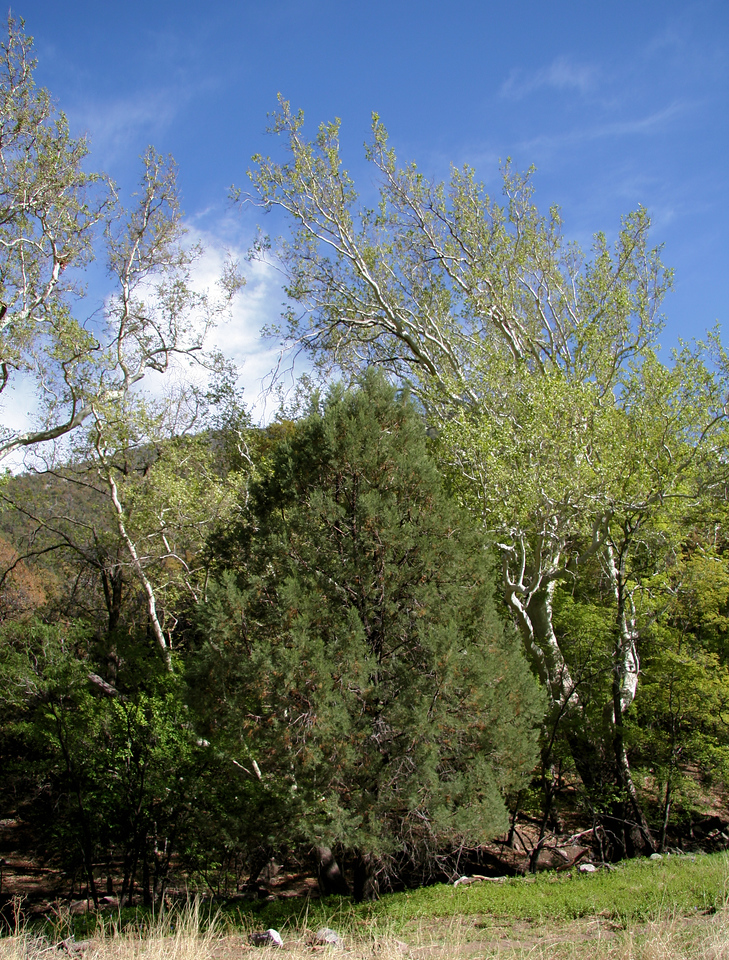Ramsey Canyon Trees