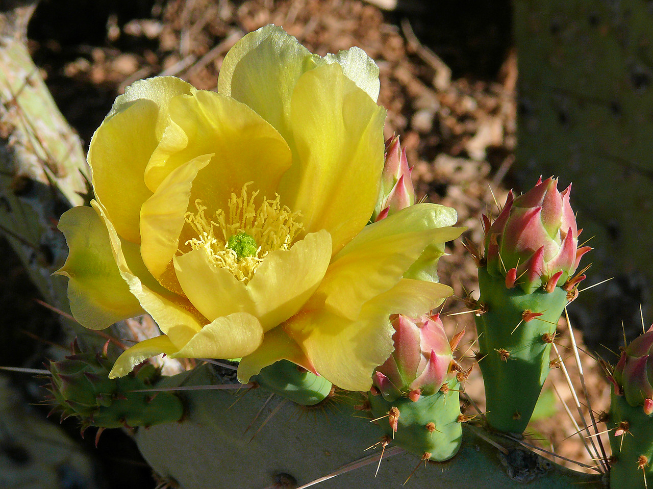 Yellow Next to Red Cactus Blossum
