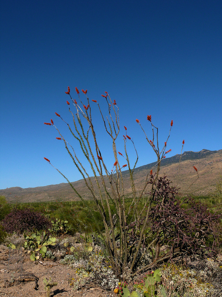 Ocitillo Cactus Blooms