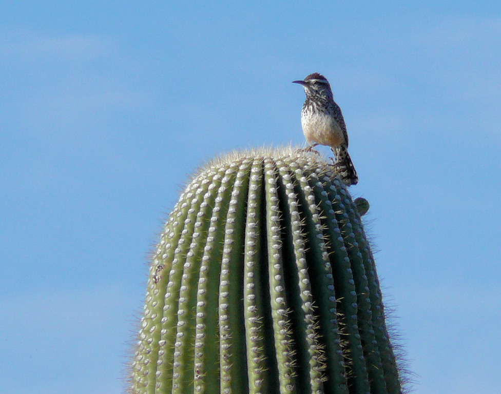 Cactus Bird