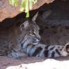 Bobcat - Arizona Sonoran Desert Museum - March 31, 2008