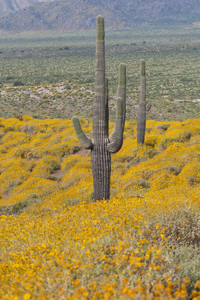 Brittlebush with Saguaro Cactus - March 30, 2008