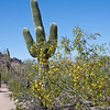 Sagauro cactus - March 26, 2008