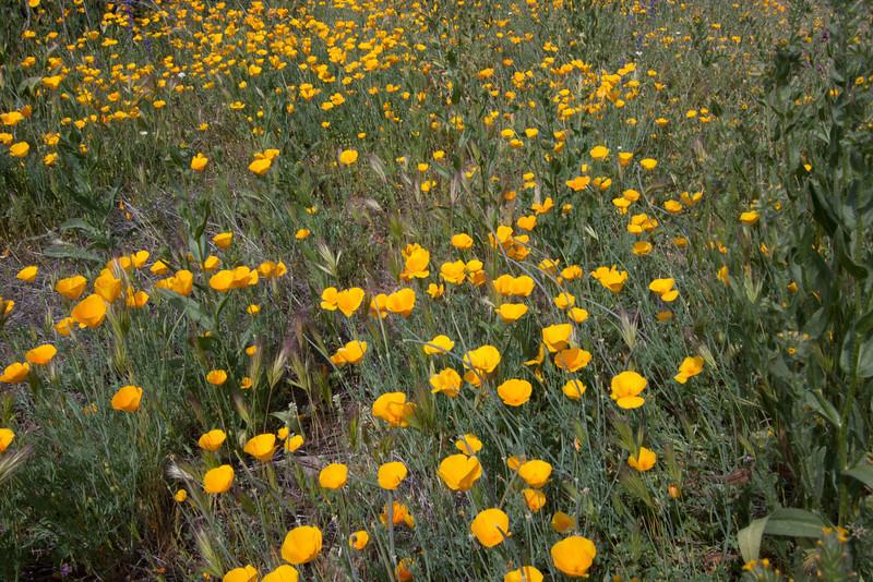 California Poppy - McDowell Mountain Regional Park, Fountain Hills, AZ - March 30, 2008