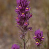 Exserted Indian Paintbrush (Purple Owl's Clover) -