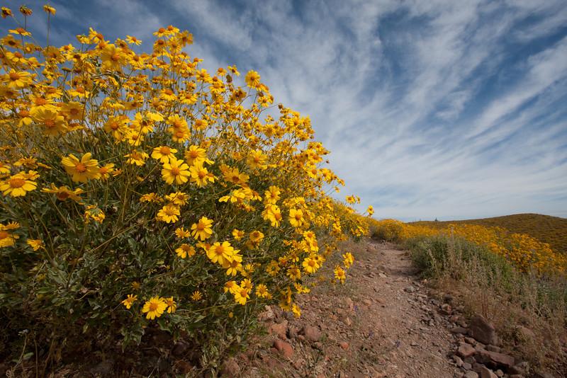 Brittlebush - McDowell Mountain Regional Park, Fountain Hills, AZ - March 30, 2008