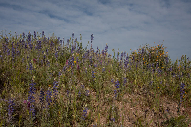 Lupine and other spring wildflowers - McDowell Mountain Regional Park, Fountain Hills, AZ - March 30, 2008