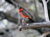 April 17, 2010 - (Catalina State Park / Oro Valley, Pima County, Arizona) -- Vermillion Flycatcher