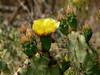 April 18, 2010 - (Saguaro National Park [West] / Tucson, Pima County, Arizona) -- Cactus blossom