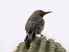 April 18, 2010 - (Arizona-Sonora Desert Museum / Tucson, Pima County, Arizona) -- Gila Woodpecker