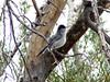 April 18, 2010 - (Saguaro National Park [West] / Tucson, Pima County, Arizona) -- Black-tailed Gnatcatcher