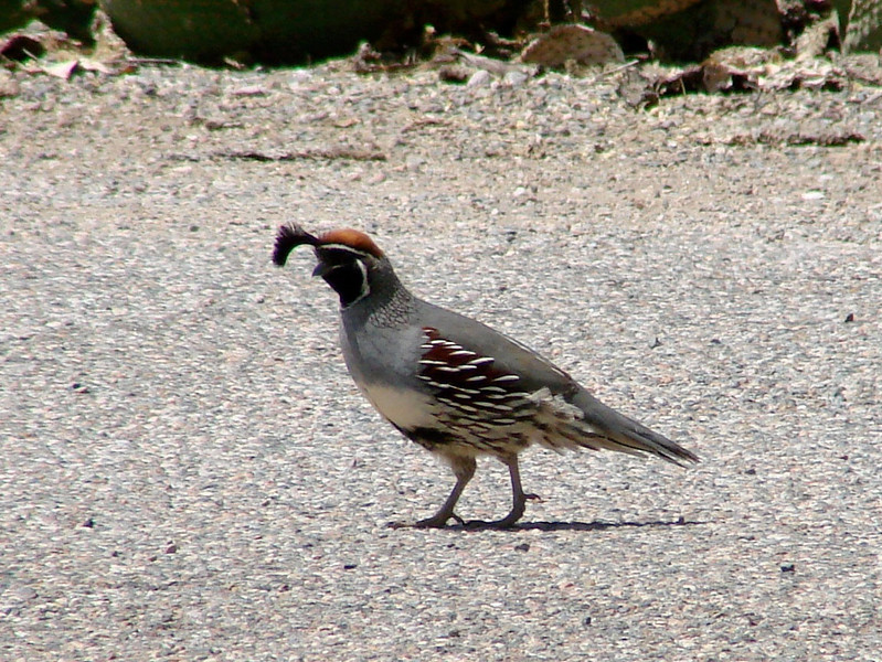 April 17, 2010 - (Boyce-Thompson Southwestern Arboretum State Park [parking lot] / Superior, Pinal County, Arizona) -- Gambell's Quail