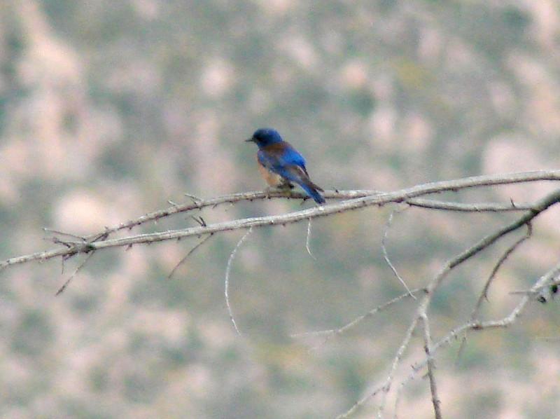 April 17, 2010 - (Catalina State Park / Oro Valley, Pima County, Arizona) -- Western Bluebird
