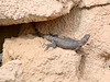 April 18, 2010 - (Arizona-Sonora Desert Museum / Tucson, Pima County, Arizona) -- Desert Iguana