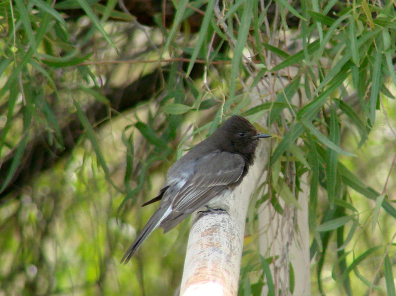April 17, 2010 - (Boyce-Thompson Southwestern Arboretum State Park, Superior, Pinal County, Arizona) -- Black Phoebe